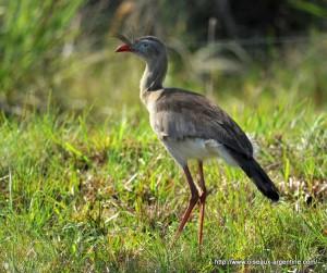 Découverte d'un oiseau du Paléogène unique en Afrique dans le Sud-Ouest algérien Figure1-Lavocatavis-300x251