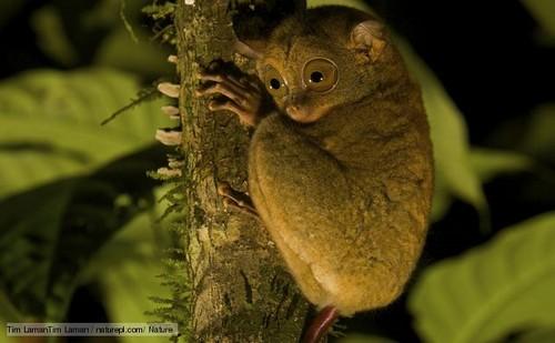 Un tarsier. Copyright Tim Lamantin Laman.
